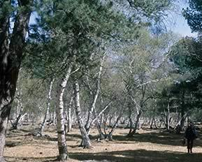 Birch-Forest_Ulaan_Baatar